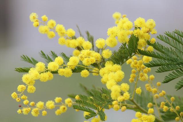 Mimoza  na Dzień Kobiet – silna i delikatna zarazem
