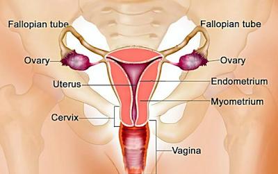 Pengertian, Struktur, dan Fungsi Sistem Reproduksi Manusia
