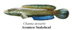 assamese snakehead