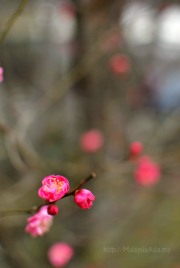 Picture of a pink plum blossom flower