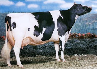 Post weaned heifer