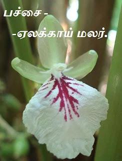 Green Cardamom flower