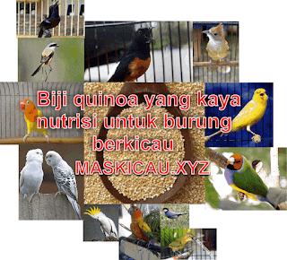 Quinoa adalah tanaman biji-bijian yang berasal dari negara Amerika selatan di temukan pada tahun 1980 di temukan oleh beberapa orang dari amerika selatan quinoa memiliki kandungan gizi yang baik secara keseluruhan karena mengandung vitamin kalsium, fosfor, kalium, vitamin E, dan B quinoa banyak di gunakan di luar negri sebagai pakan burung lovebird sebagai nutrisi tambahan untuk lovebird      Melihat dari jenis nutrisi yang terkandung pada biji-bijian quinoa ini juga sangat cocok untuk jenis burung lain sperti pleci,murai batu,kacer,cendet,cucak hijau,kenari,parkit afrika maupun lokal,dan jenis burung lain meskipun bukan dari keluarga pemakan biji-bijian untuk melengkapi kebutuhan nutrisi pada burung tersebut selain untuk burung dewasa quinoa banyak di jadikan sebagai tambahan pakan lolohan untuk jenis burung paruh  bengkok dan jenis burung pemakan biji-bijian   karena kandungan nutrisi yang cukup lengkap untuk memperkuat tulang pada anakan burung paruh bengkok juga melengkapi berbagai jnis nutrisi yang di perlukan, untuk sobat Maskicau yang saat ini memiliki anakan burung yang baru menetas ada baiknya sobat memberikan tanaman biji-bijian ini untuk anakan burung paruh bengkok atau jenis burung lain jenis biji-bijian ini tidak, seperti fumayin yang memberikan efek sperti doping pada burung   quinoa tidak memberikan efek apapun sehingga cukup baik di gunakan sebagai pelengkap nutrisi pada burung berkicau pemberian pada anakan lovebird atau jenis burung lain bisa dengan cara memberikan biji-bijian kepada indukan lovebird atau jenis burung paruh bengkok karena akan mejadi lebih kaya nutrisinya karena bercampur dengan air liur indukan burung paruh bengkok  kelengkapan nutrisi Quinoa mentah kaya akan protein dengan asam amino esensial, serat makanan, vitamin B9 (folat), B6, B2, B1, B3, E, kolin, mangan, fosfor, magnesium, zat besi, zinc, natrium, kalium, dan kalsium dari sumber terpercaya lihat di sini  Cara memberikan biji quinoa untuk anakan yang di loloh manusia  Tumbu