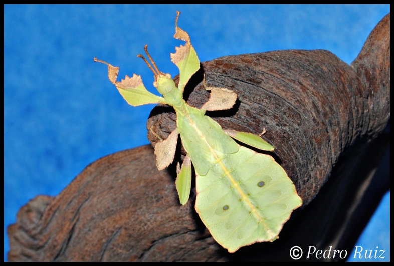 Ninfa macho L5 de Phyllium ericoriai, 4,5 cm de longitud