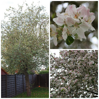 Apple-tree-blossom-garden