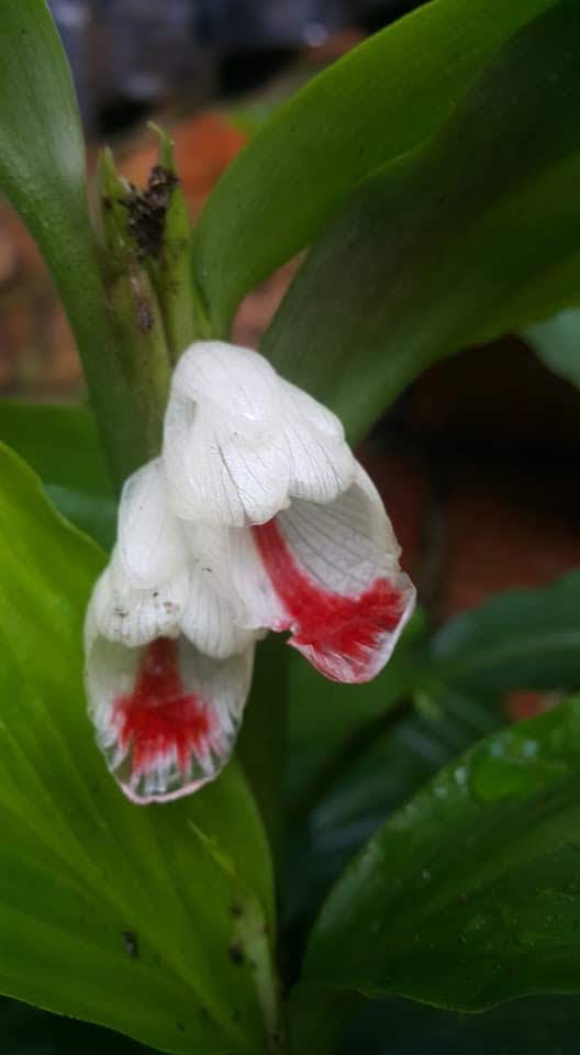 Boesenbergia pulcherrima