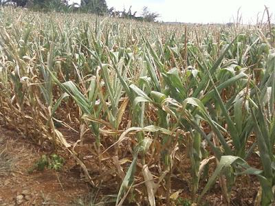 Resultado de imagem para perdas nas lavouras do semiárido