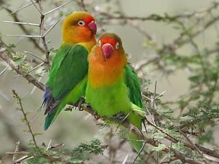 4 Cara Melatih Burung Lovebird Agar Jinak dan Ngekek Panjang, burung kicau, burung kicau mania, cara, tips dan trik