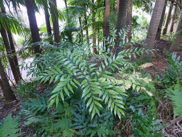 Bowenia spectabilis