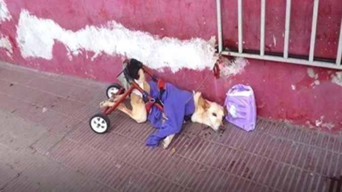 A disabled dog in diapers is left on the street, adopted, and lives his dream life