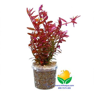 Phụ kiện thủy sinh - cây vẩy ốc đỏ trồng hậu cảnh