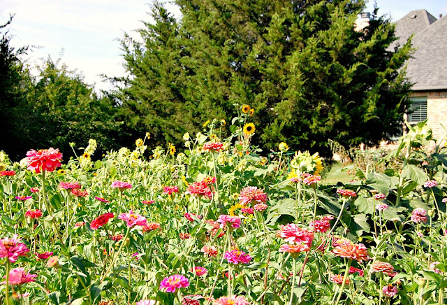 athomewithjemm.com growing zinnias tips and tricks for success