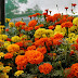 How to Grow Marigold Flowers - Urdu Guide
