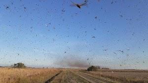 Ministério da Agricultura tem plano para acompanhar nuvem de gafanhotos