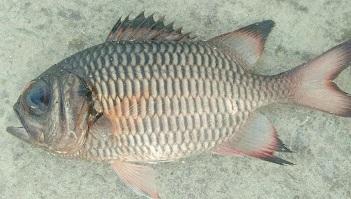 Ikan Rengginan Myripristis Adusta Cerita Pesisir