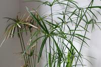 papirus roślina