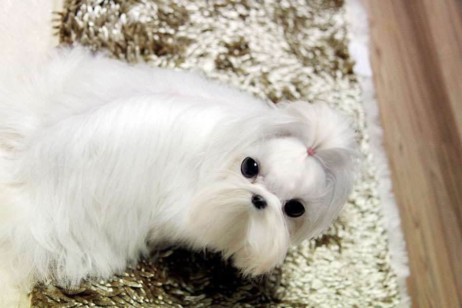 TEACUP PUPPY: ☆Teacup puppy for sale☆ High quality Maltese