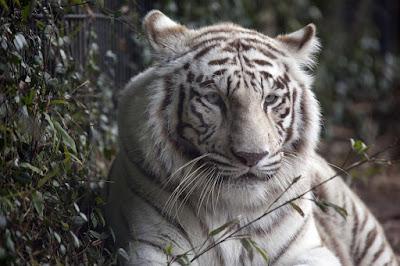 Cara Mempelajari Ajian Macan Putih Kejawen Asli Dan Khasiatnya