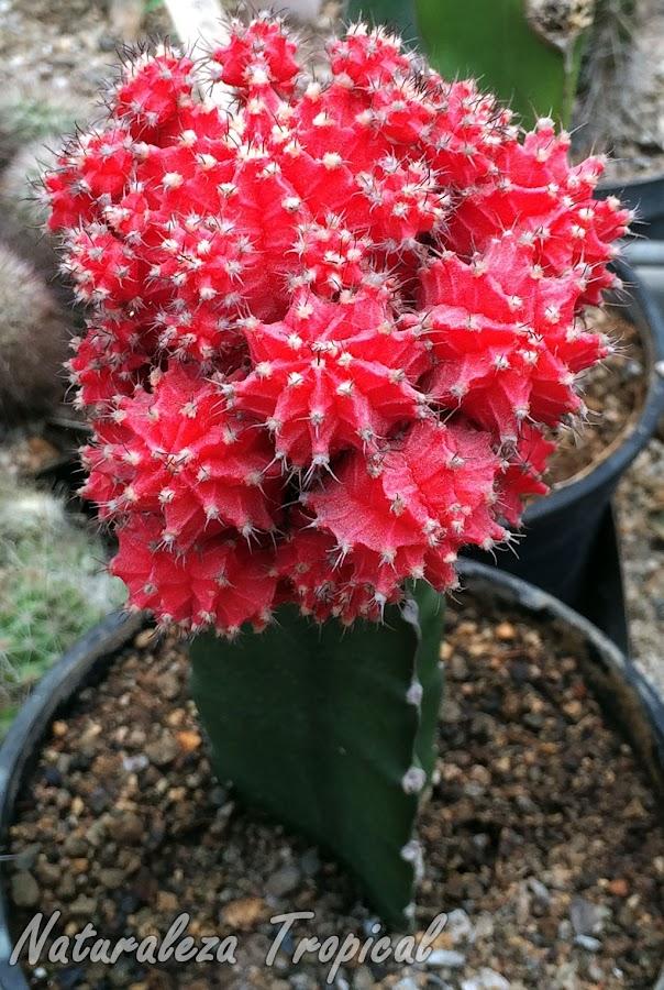Cactus con numerosas plantas hijas, color rojo, Gymnocalicium mihanovichii