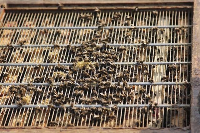 Άυξηση παραγωγής μελιού με χρήση βασιλικού διαφράγματος: