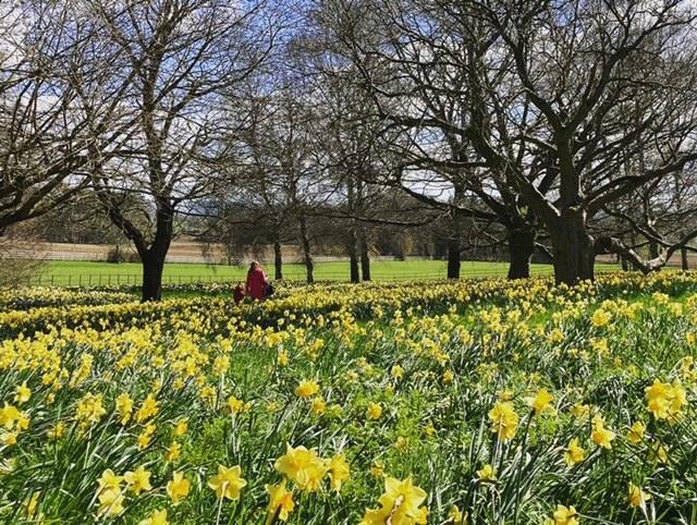 Mum and son walking through daffodil fields