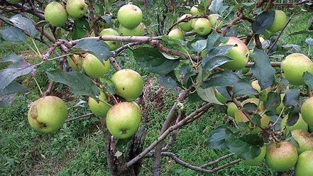 Melayani Eceran! Bibit Pohon Apel Manalagi Atau Malang Cepat Berbuah Terlaris Murah Kota Kediri #bibit buah langka