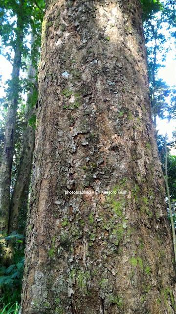 Pohon Meranti Merah tempat tumbuh Anggrek Thaenophylum.