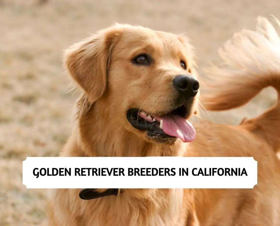 Best Golden Retriever Breeders in California