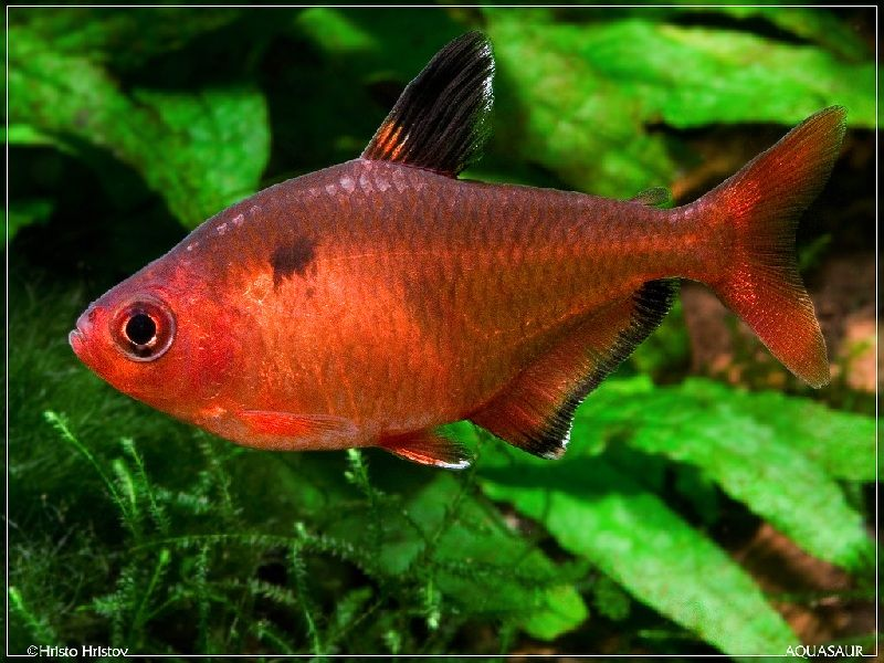 ikan red nose