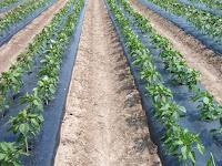 Inilah Kelebihan dan Kekurangan Mulsa Plastik dalam Pertanian