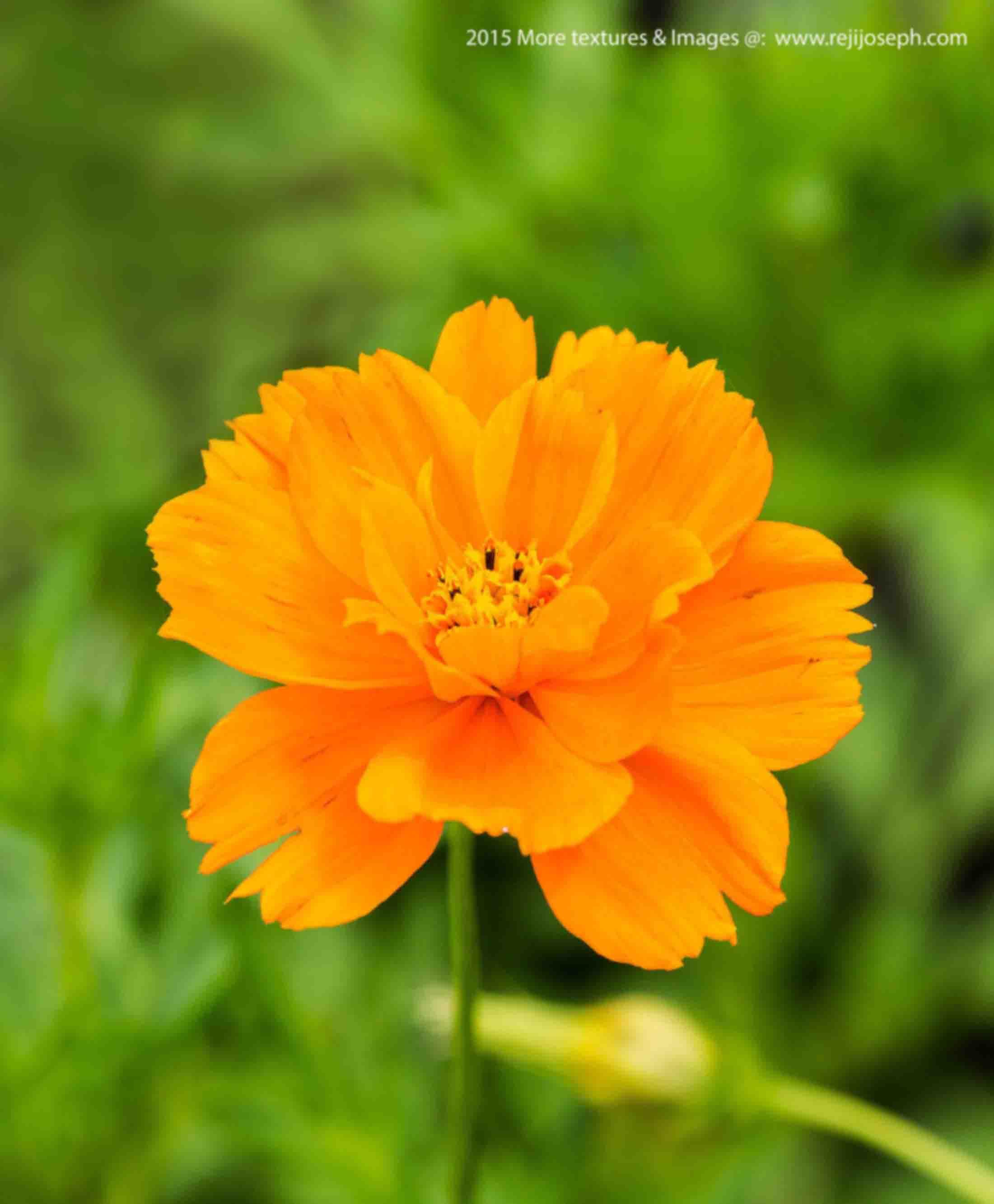 Orange Cosmos flower 00002