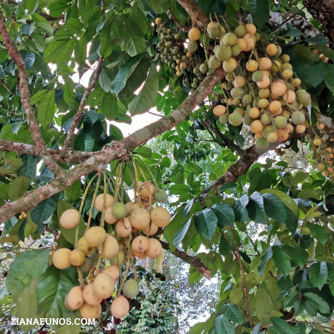 Kebaikan buah langsat