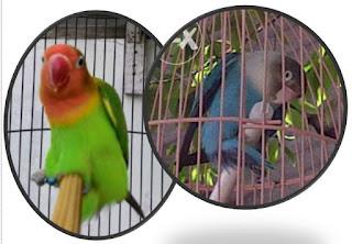Ciri Lovebird Betina Minta Kawin atau Over Birahi