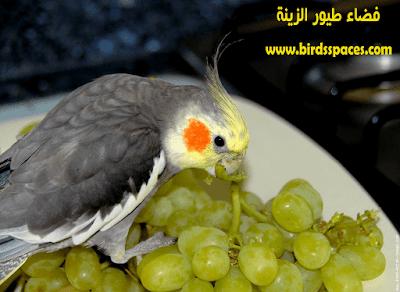 أغذية تقوي مناعة طيور الزينة