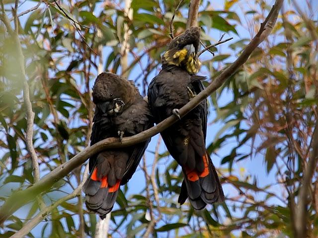Glossy Black Cockatoo (Calyptorhynchus lathami) Vulnerable