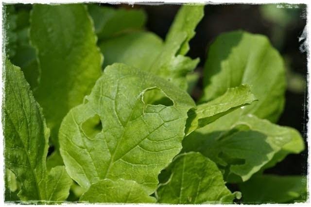 Gartenblog Topfgartenwelt Schädlinge: Schneckenfraß an Pflanzen - Absammeln und Schneckenkorn hilft