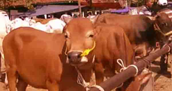 ibadah qurban dan keutamaannya, hadits, al qur'an, sapi, www.langitallah.com
