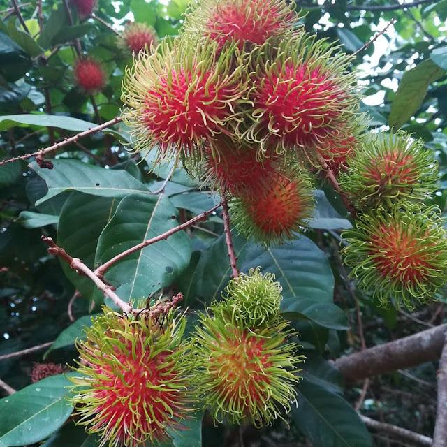 tanaman buah rambutan