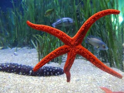 How do Starfish Eat