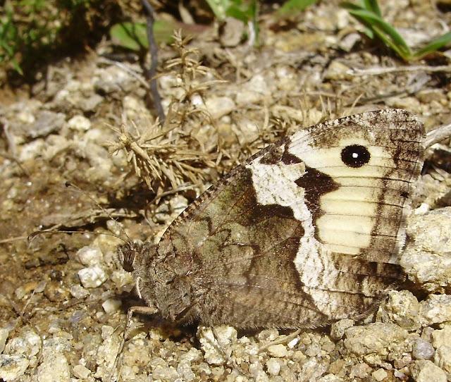mariposa Hipparchia alcyone