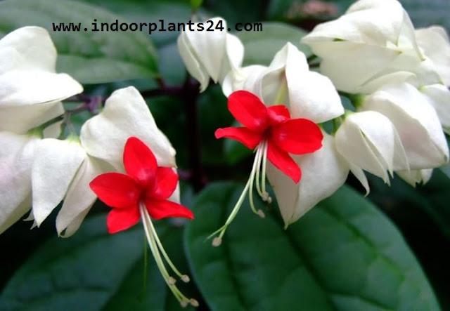 Clerodendrum Thomsoniae indoor plant photo