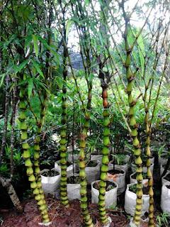 jual bambu nagin