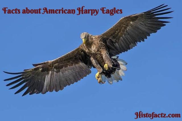 American Harpy Eagles