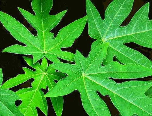 Manfaat daun pepaya untuk menghilangkan bisul Manfaat Daun Pepaya untuk Menghilangkan Jerawat
