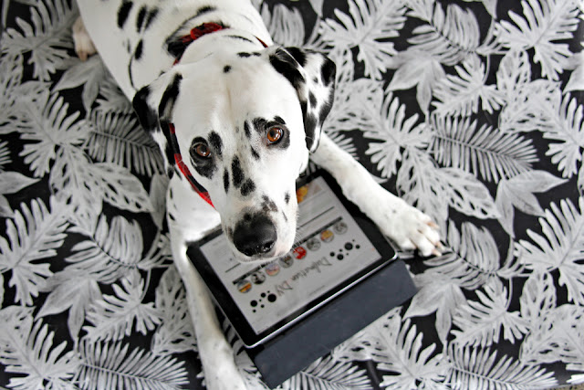 Dalmatian with an iPad lying on a black and white dog bed