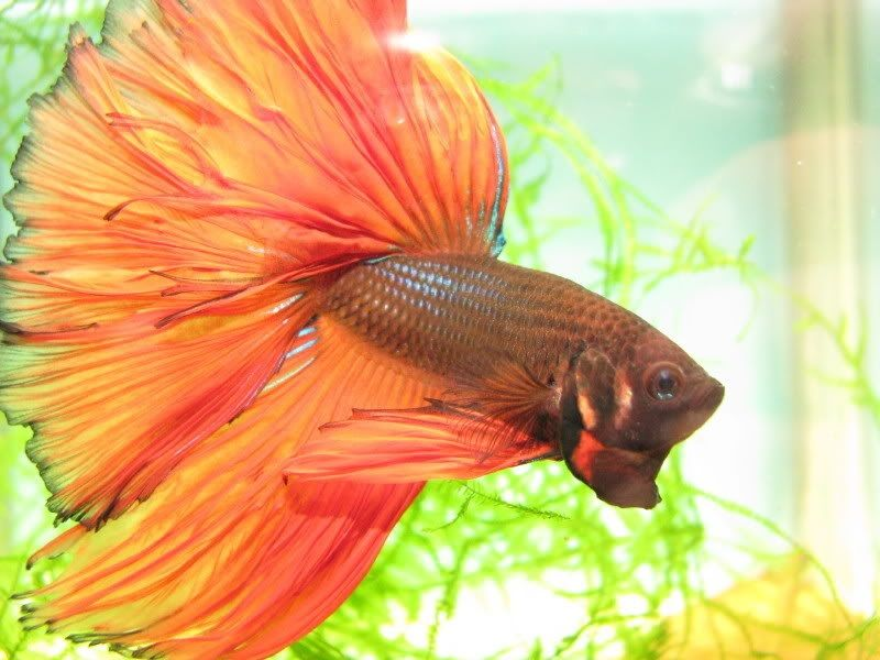 Image Orange Betta Fish