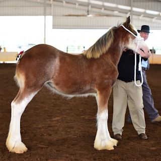 draft horse, ridden draft horse, draft horse under saddle, ride a draft, clydesdale, clydesdale mare, Clydesdale foal, Budweiser Clydesdale, heavy horse, heavy horse ridden