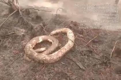 Akibat Kebakaran Hutan, Ular-ular dan Satwa Mati Terbakar