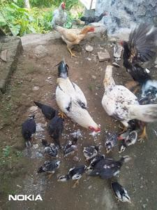 Sisa Nasi Dikasih Ayam