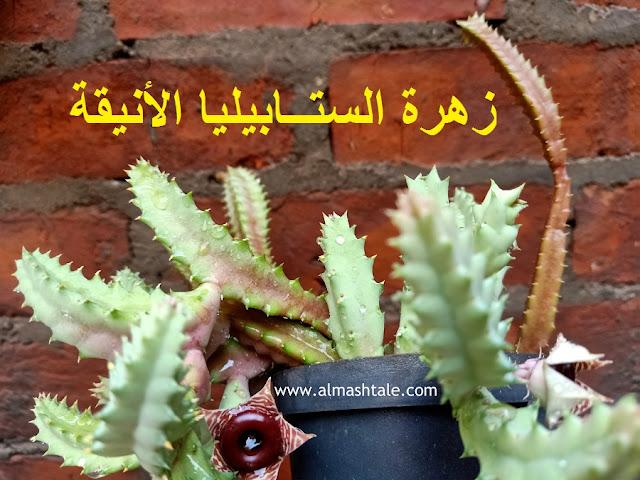 زهرة نبات ستابيليا stapelia flower
